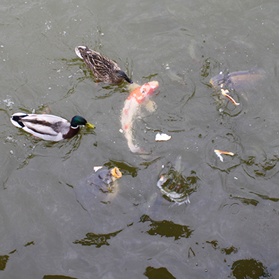 Feed Fish and Ducks